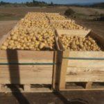 La renaissance de la patate de l'Aubrac