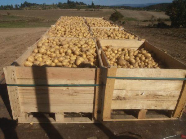 La patate du plateau de l'Aubrac renaît sur le plateau pour entrer de nouveau dans la composition de l'aligot