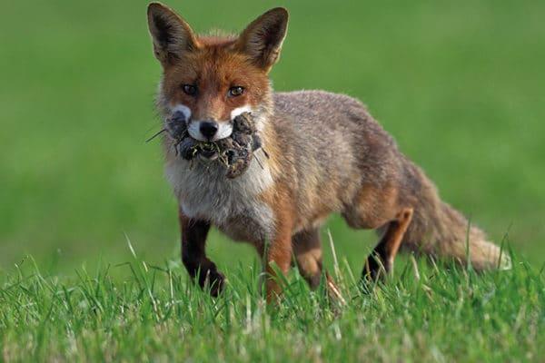 Le renard un fort prédateur