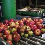 Les pommes sont lavées pour être pressées