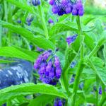 La consoude, plante multiservices
