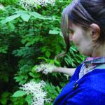 Sureau de printemps