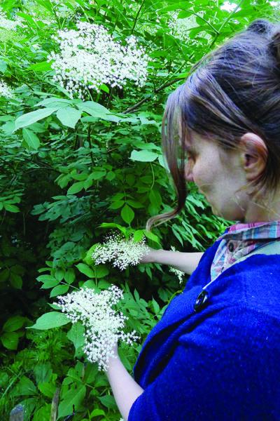 Le sureau, plante du printemps