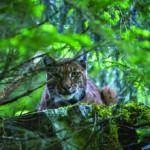 Le lynx, en toute discrétion