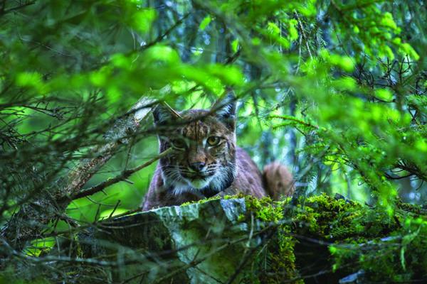 Le lynx vit encore dans le Jura