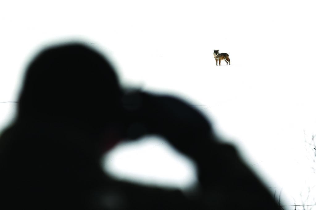 loup abruzzes