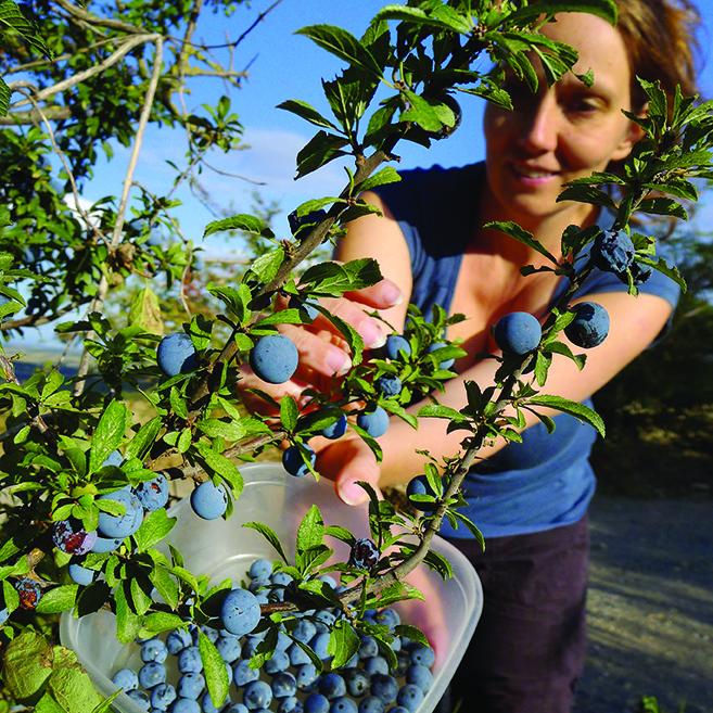 Cueillette de prunelles