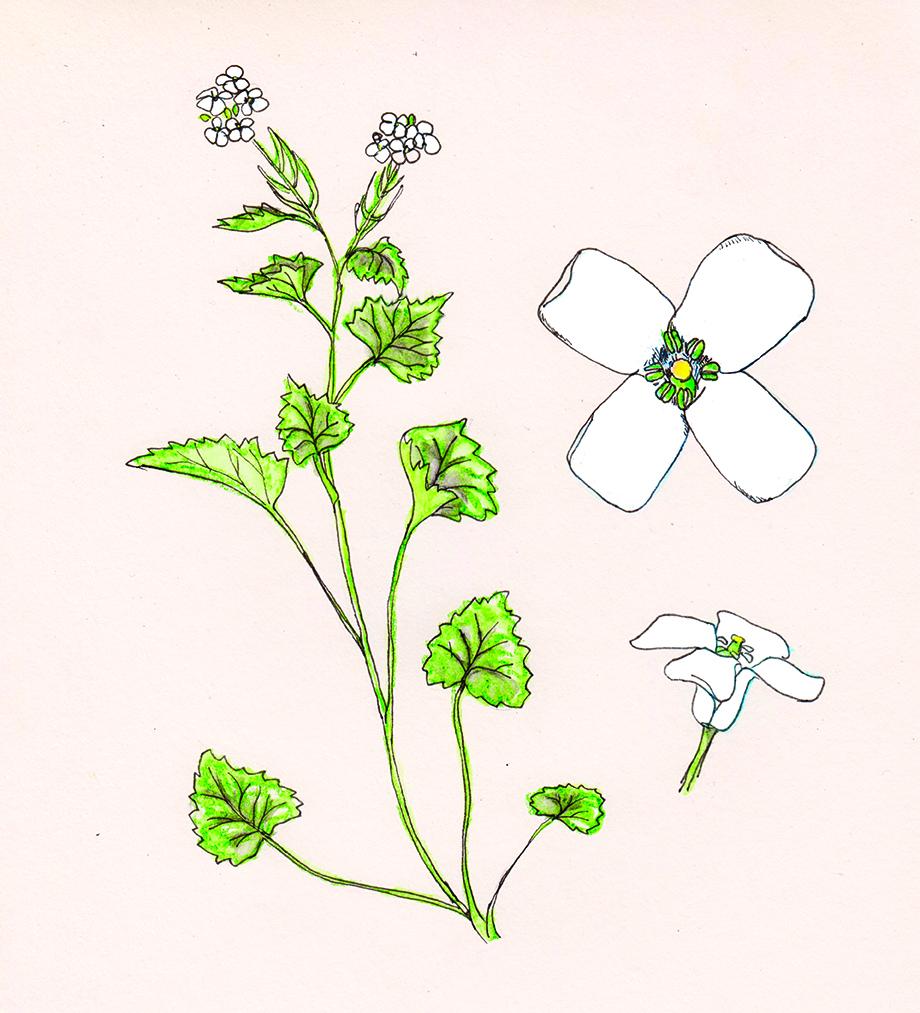 Avec son délicat parfum d'ail, l'alliaire officinal fait partie des basiques de la cuisine sauvage.