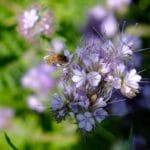 20 mai : journée mondiale des abeilles et des pollinisateurs