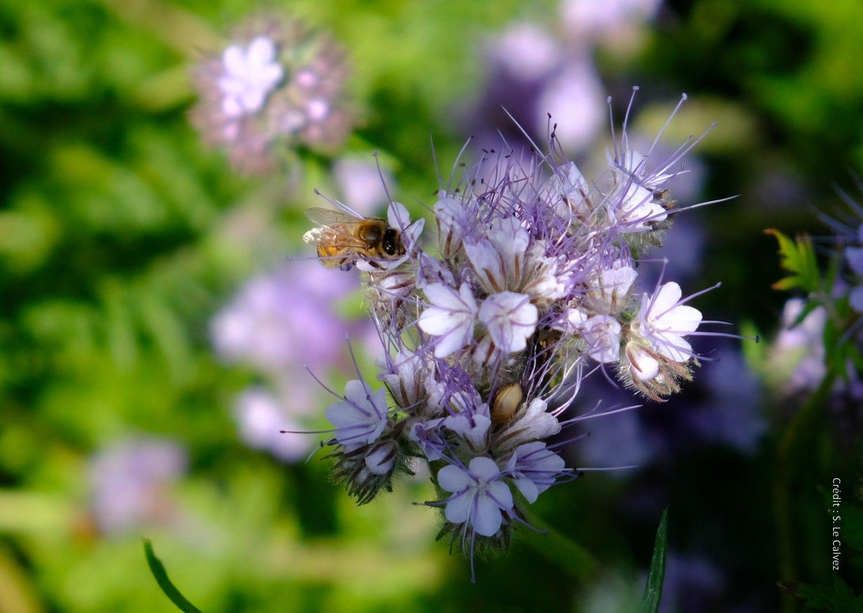 20 mai Journée mondiale des abeilles.