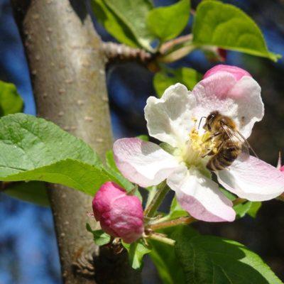 les 17, 18 et 19 Juin 2021, se tiennent les APIdays® : une fête nationale en faveur des abeilles et des pollinisateurs